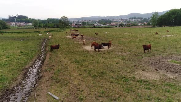 Thumbnail for Cows on the Farm