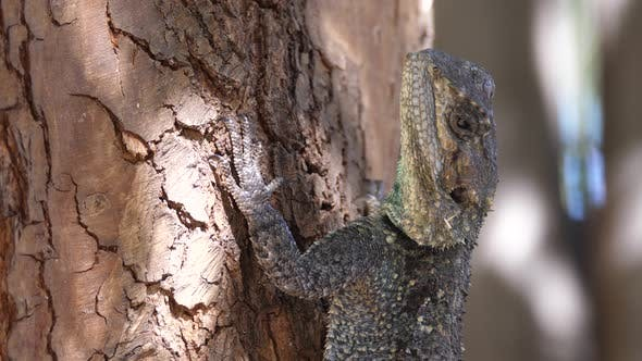 Thumbnail for Close up from a southern tree agama on a tree