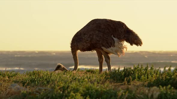 Thumbnail for Ostrich in SouthAfrica on an Afternoon