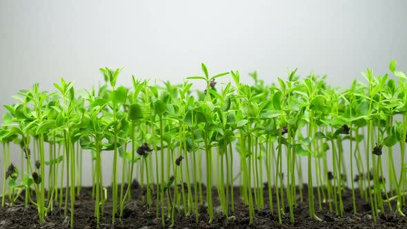 Thumbnail for Flax Germination on Light Background