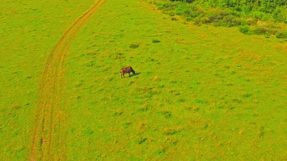 Thumbnail for Aerial View on Cow on Grassland