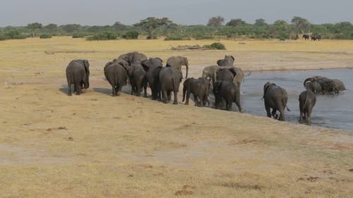 Herd of African elephants at waterhole