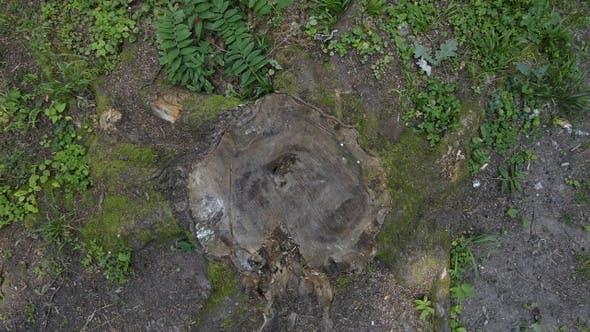 Thumbnail for Cut Tree Remains