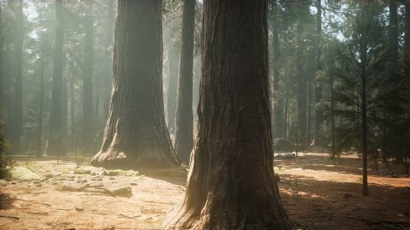 Thumbnail for Sunset on the Giant Forest, Sequoia National Park, California