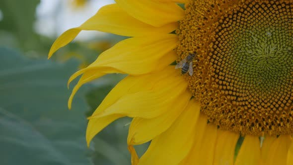 Thumbnail for Yellow sunflower flowers. Blooming yellow flower.