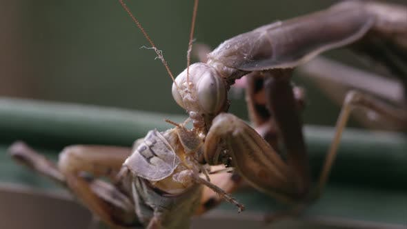 Thumbnail for Extreme tight shot of praying mantis eating a grasshoppers head.