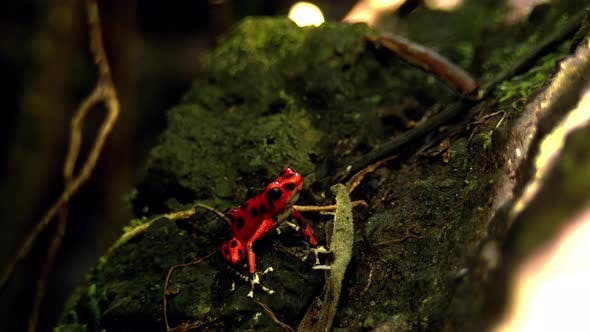 Strawberry Poison Red Dart Frog in its Natural Habitat in the Caribbean