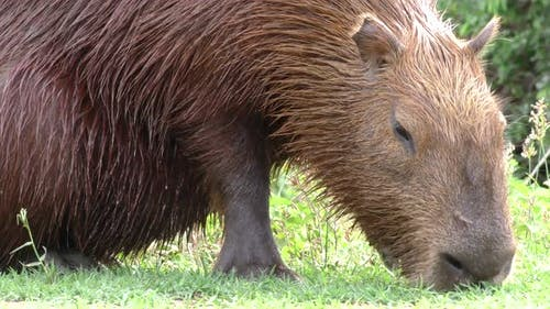 Capybara Male Adult Lone Eating Grazing Grass in Brazil