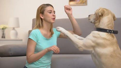 Housepet Owner Teaching Retriever Dog Performing Commands, Animal Discipline