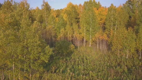 Thumbnail for Flying Along a Beautiful Birch Grove in Autumn. Yellow Birch in the Ravine. Aerial View