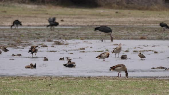 Egyptian goose, ducks and storks