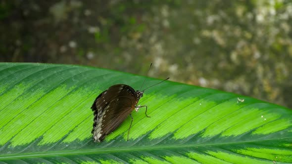 Thumbnail for Tropical Butterfly Hypolimnas Misippus
