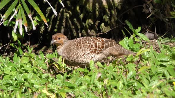 Grey Francolin Adult Lone Foraging Looking For Food in Hawaii