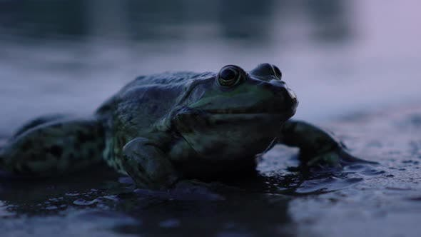 Thumbnail for Frog Close Up in the Pond