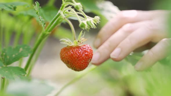 Close Up of Ripe Strawberries. Girl on a Strawberry Field Picks a Large Ripe Strawberry From a Bush