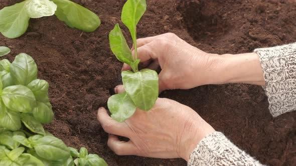 Farmer Planting Vegetable