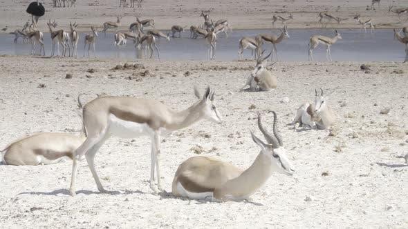 Thumbnail for Springbok Gathering at Etosha