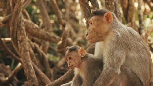 Goa, India. Monkey Bonnet Macaque - Macaca Radiata Or Zati Is Looking For Fleas On Its Cub. Close Up