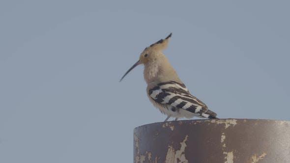 Hoopoe Bird Singing On a Metal Pole