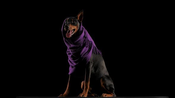 Studio Portrait of a Cheerful Doberman in a Lilac Scarf with an Ear Sticking Out From Under It