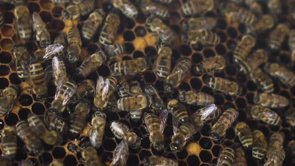 Thumbnail for Bees Crawl on the Hereditary Combs in Close-up. Genus House of Bees. The Bees Are Working on the