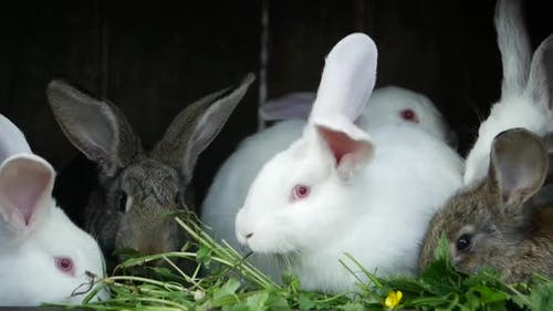 A group of white rabbits eating food on the farm