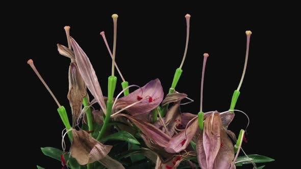 Time-lapse of dying pink lily bouquet