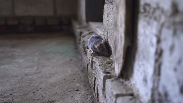 Thumbnail for Gray Rat Animal Located In Brick Basement