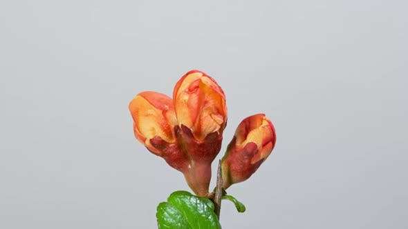 Japanese Quince (Chaenomeles) Blossom Macro Timelapse