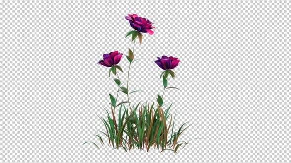 Growing Pink Rose Flowers