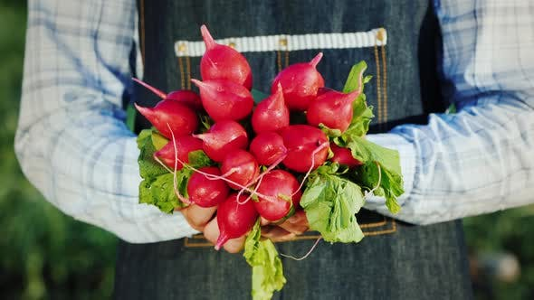 Thumbnail for A Man Holds in His Hands the Navel of Ripe Radishes