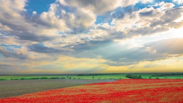 Thumbnail for Poppy Field Harvesting