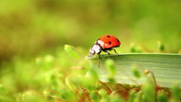 Thumbnail for Close-up Wildlife of a Ladybug in the Green Grass in the Forest