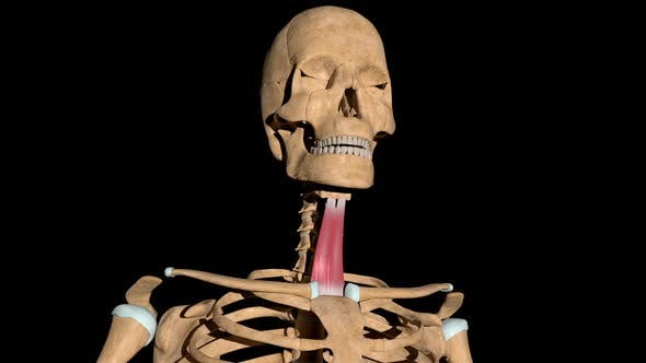 Sternohyoid Muscles On Skeleton