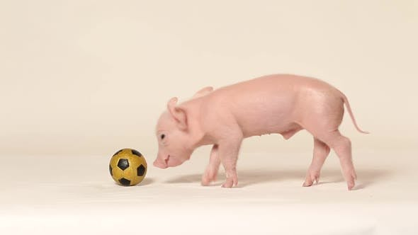 Thumbnail for Piglet playing with football
