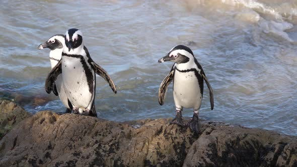 Thumbnail for Three Penguins walking on a rock