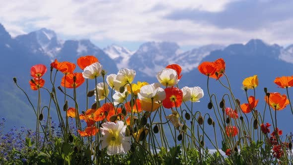 Thumbnail for Flowers Against Alpine Mountains and Lake Geneva on Embankment in Montreux. Switzerland