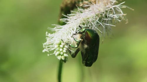 Rose Chafer Beetle In Wild
