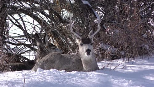 Mule Deer Buck Male Adult Pair Bucks Sitting Bedded Winter Chewing Cud
