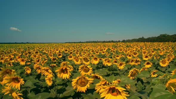 Thumbnail for Amazing View of the Sunflower Field