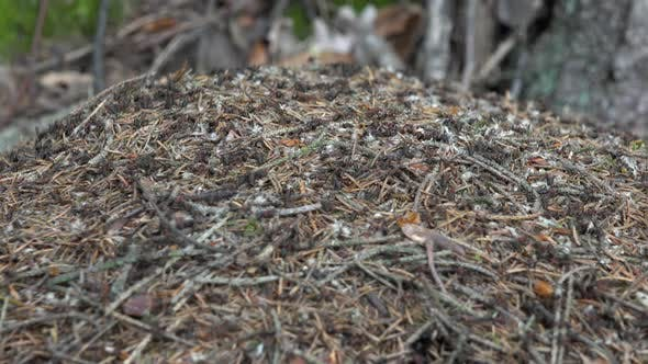 Thumbnail for An Ant Hill in the Nature in Forest, Ants Run Around Inside It.