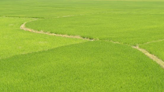 Thumbnail for Paddy rice field