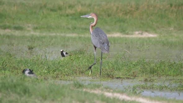 Goliath heron walking in the wetlands