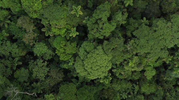Thumbnail for An aerial view showing the various tree species and palm trees from the tropical rainforest