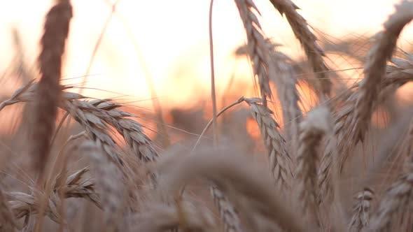 Cover Image for Fine Wheat Corn