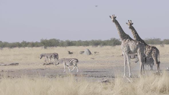 Thumbnail for Giraffes And Zebras in Etosha