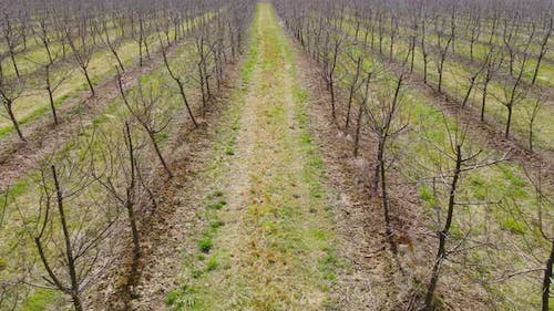 Garden of Young Apple Trees Without Leaves in Spring