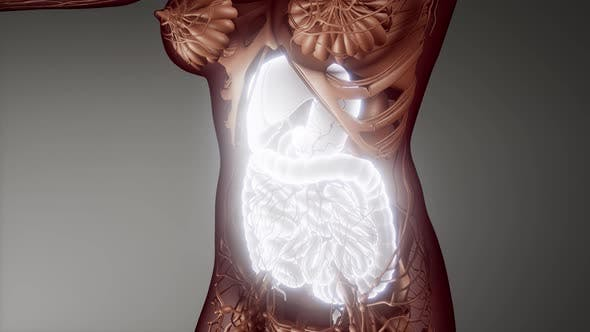 Human Digestive System Parts and Functions
