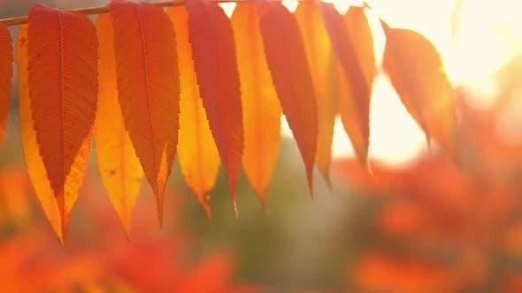 Thumbnail for Orange Autumn Foliage