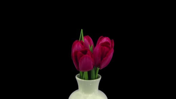 Growing, opening and rotating red tulips